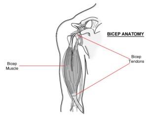 bicepanatomy - Sprains, Strains and Tears