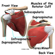 muscles-of-rotator-cuff