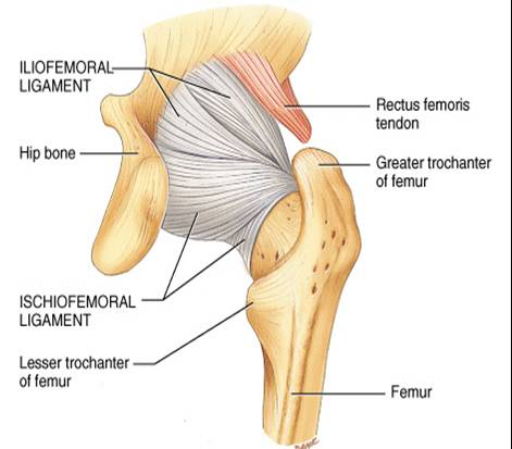 Hip ligaments and pain stemcelldoc s weblog