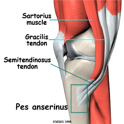 bursa is s fluid filled sac that lies between the bone and the    Semitendinosus Tendon