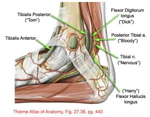 Ankle Pain Tarsal Tunnel Syndrome Stemcelldoc S Weblog