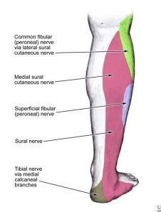 Peroneal Nerve Sensory Distribution