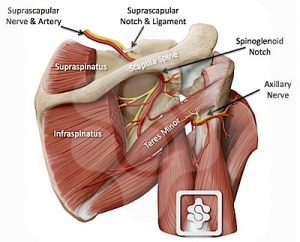suprascapular_and_axillary_nerves_02